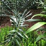 Encephalartos horridus Leaf