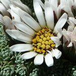 Xenophyllum marcidum