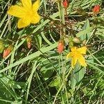Hypericum annulatum