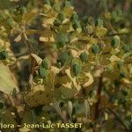 Euphorbia lagascae