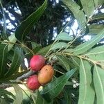 Harpephyllum caffrum Frukt