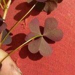 Oxalis corniculata Leht