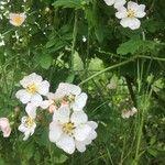 Rosa elliptica