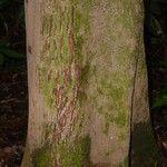 Loreya arborescens