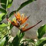 Heliconia hirsuta