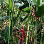 Heliconia tortuosa