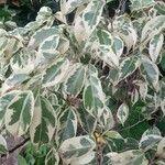 Ficus benjamina Leaf