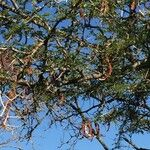 Vachellia grandicornuta
