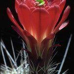 Echinocereus triglochidiatus