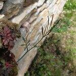 Cardamine parviflora Feuille