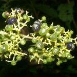 Psychotria berteroana