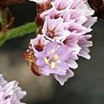 Limonium pectinatum