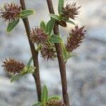 Salix caesia