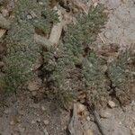Lomatium foeniculaceum