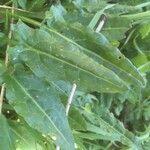 Rumex thyrsoides