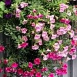 Calibrachoa parviflora Blomst