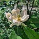 Magnolia virginiana Kukka
