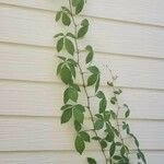 Parthenocissus quinquefolia List