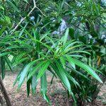 Thevetia peruviana 葉