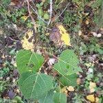 Populus tremuloides Levél