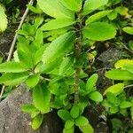 Kalanchoe pinnata Leht