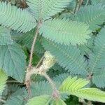 Mimosa pudica Leaf