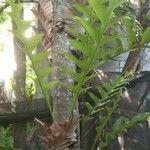 Drynaria rigidula