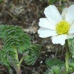 Callianthemum coriandrifolium