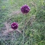 Allium rotundum Flor