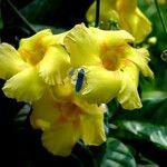 Odontadenia macrantha