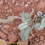 Astragalus reinii