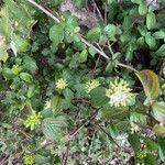 Cornus sanguinea Flor