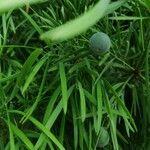 Podocarpus salignus
