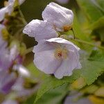 Abutilon vitifolium