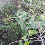 Salix pedicellata