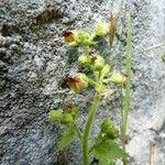 Scrophularia pyrenaica