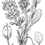 Lepidium villarsii