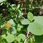 Viburnum lantana Leaf