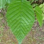 Alnus acuminata