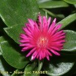 Aptenia cordifolia x Aptenia haeckeliana