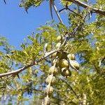 Vachellia nilotica Leaf