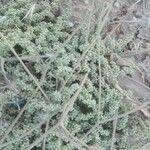 Herniaria mauritanica