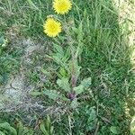 Crepis mollis