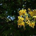 Koeleria albescens