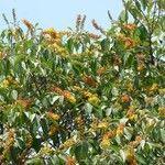 Byrsonima crassifolia