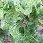 Tapiphyllum parvifolium