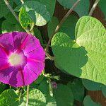 Ipomoea purpurea പുഷ്പം