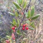 Rhamnus ilicifolia Fruit