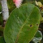 Syzygium commersonii