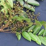 Toxicodendron striatum